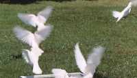 Dove Release - Petting Zoos for Parties in Branson, Missouri
