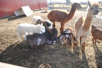 June Bug Ranch Pony Rides & Petting Zoo