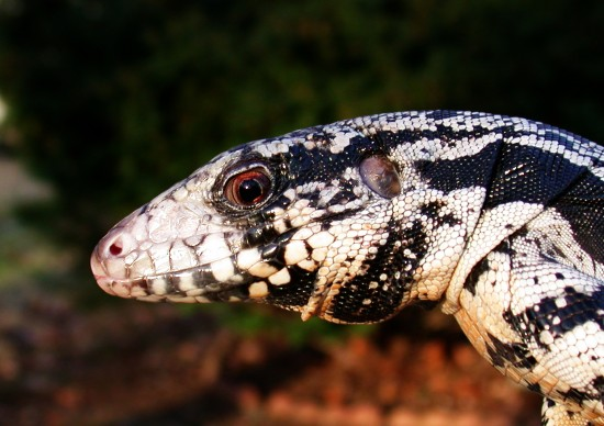 BOLIVAR THE BLACK AND WHITE TEGU