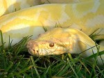 SHAKESPEAR THE ALBINO BURMESE PYTHON