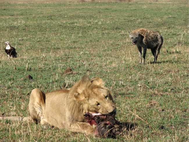 African Lion vs Hyenas Fight Comparison  Compare Animal