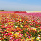 Strawberry Oatmeal Jam Bars and the Carlsbad Flower Fields