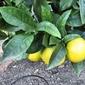 Orange Gelato Supreme