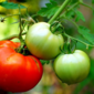 Organic Gardening Series: How to Get Rid of Tomato Blight