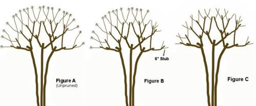 How to Prune a Crepe Myrtle