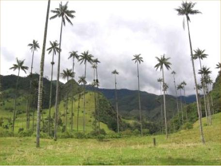 Pereira coffee landscape