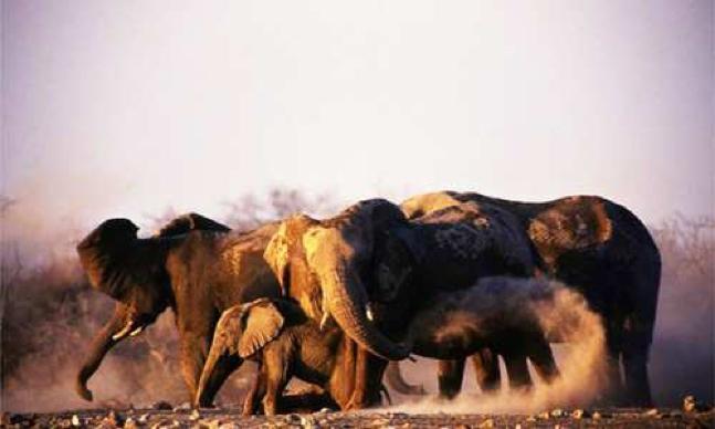 Elephant in Mali