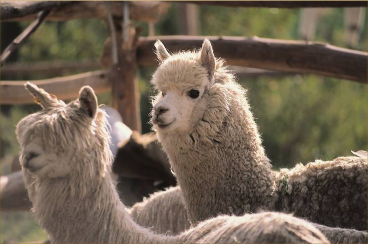 Llama Cusco