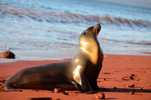"""""""Sea Lion, Galapagos Islands"""" by Paul Krawczuk is licensed under CC BY 2.0"""