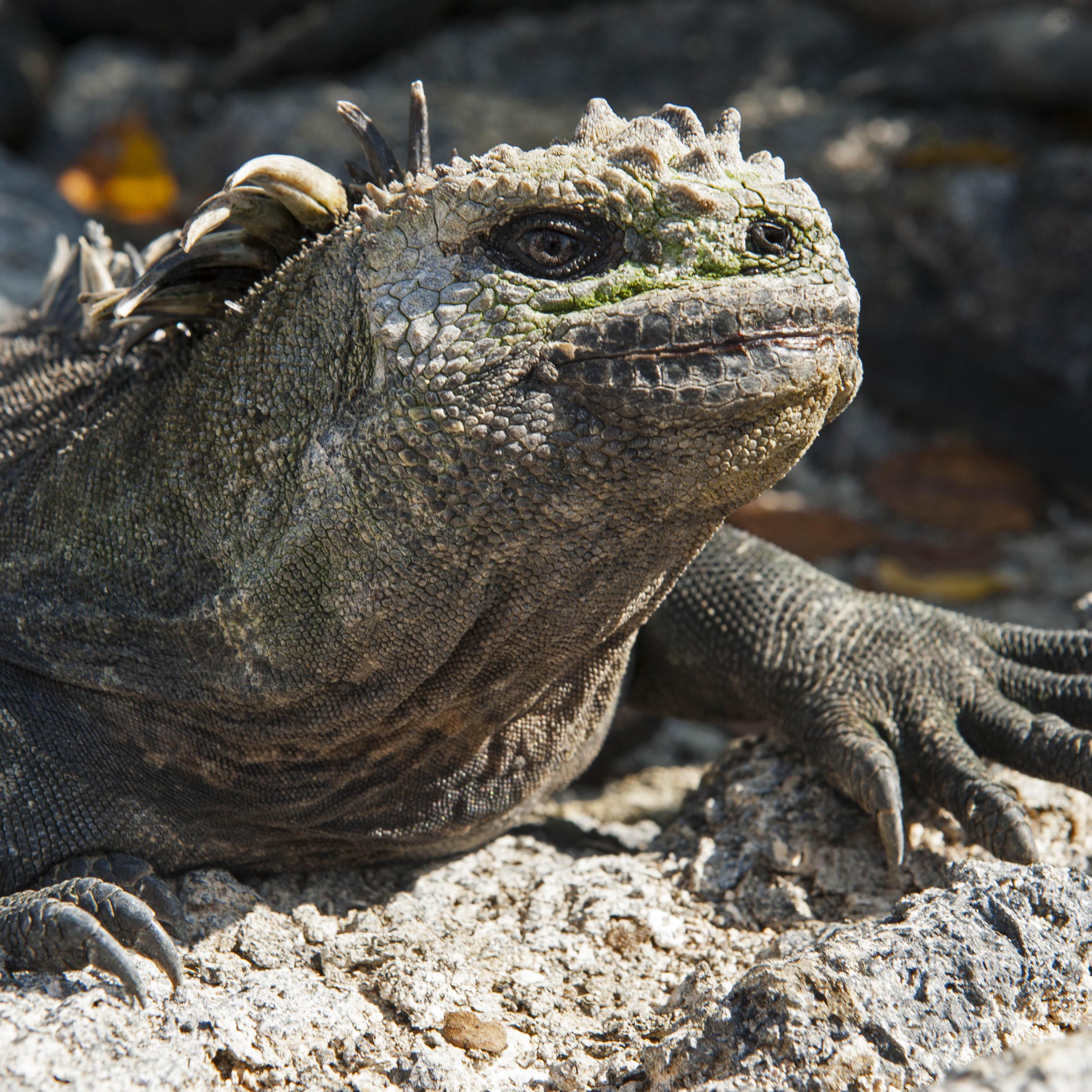 Marine Iguana Galapagos Islands