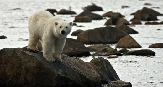End your journey with a once-in-a-lifetime experience to view Polar Bears in the wild!