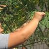 La Moringa En Los Platos Típicos Salvadoreños