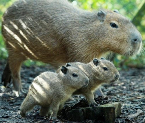 Baby Capybaras and their mother