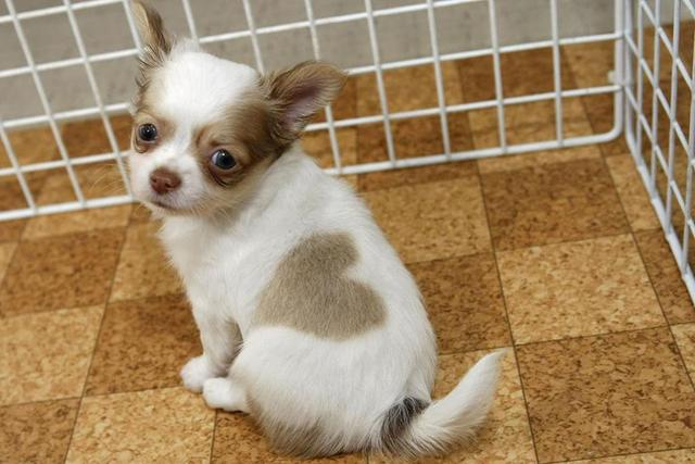 Cute puppy with a perfect heart shape on back