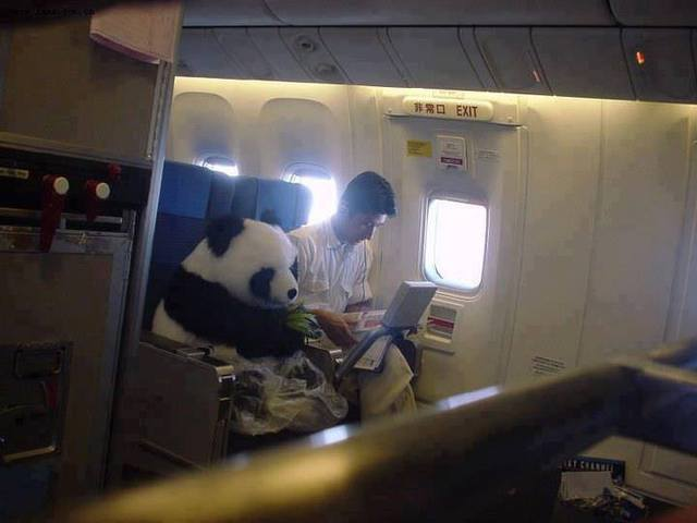 """This is a Real Panda. China has this ""Panda Diplomacy"" and this one will be sent to Japan as an friendship envoy. For safety reasons, he sits as a passenger with his feeder, not in a cage. Fastening the seat belt, wearing a diaper, eating bamboos"". [x-post]"