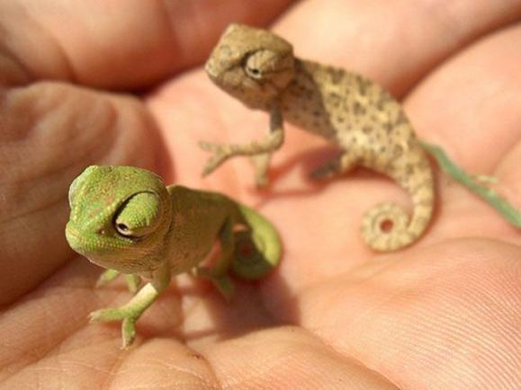 Teeny Chameleons