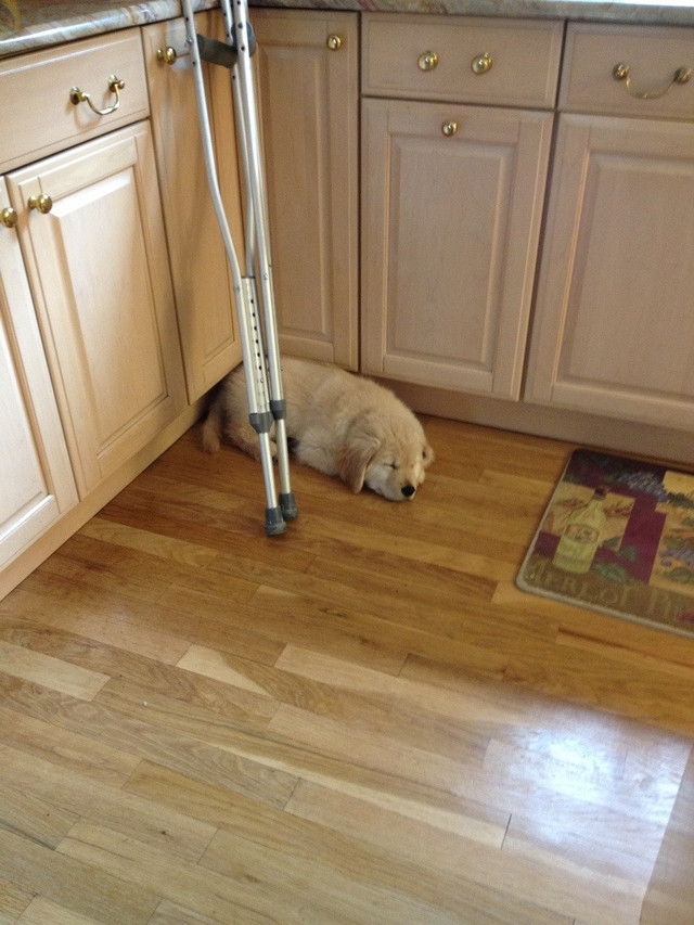I had surgery on my achilles and our puppy associates my crutches with me. So here's a photo of him finding comfort near them.