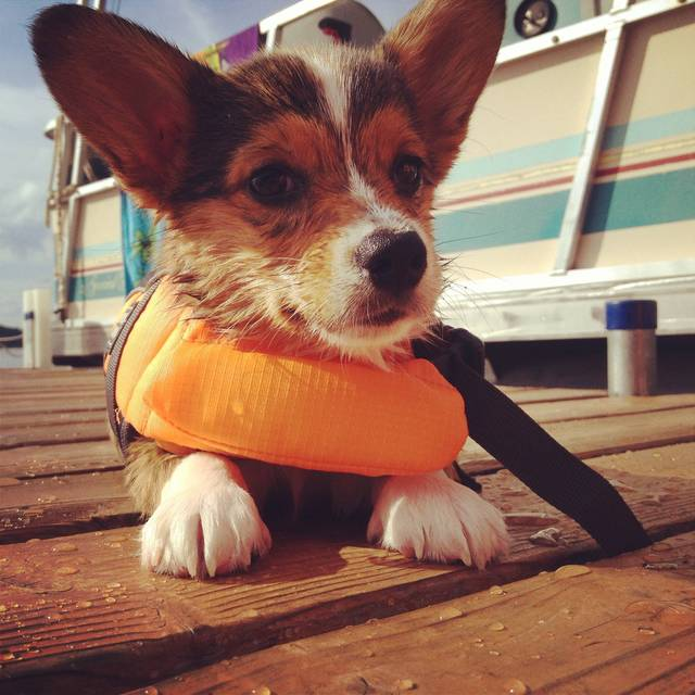 Wet corgi in a life jacket. Tobias on the lake, day two.