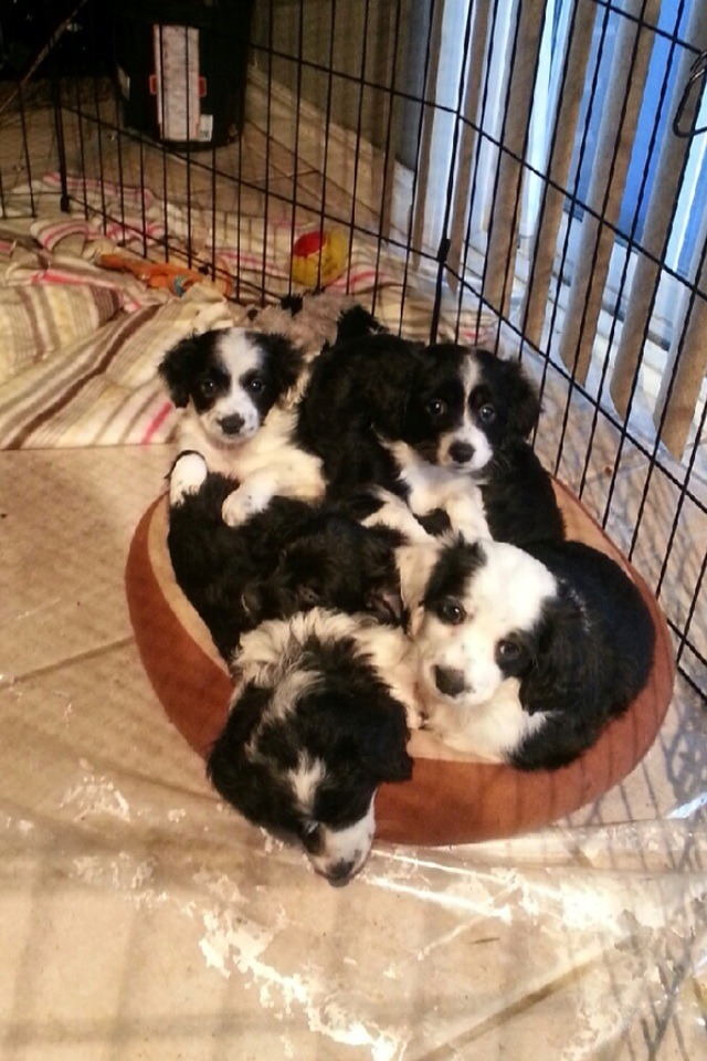 My five puppies trying to fit into one dog bed.