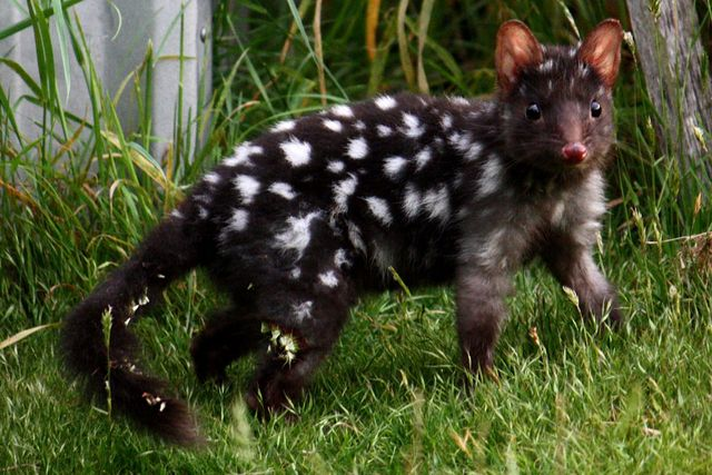 Ever seen a Quoll before?