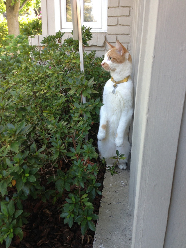 My cat turns into a prairie dog when he's allowed outside.