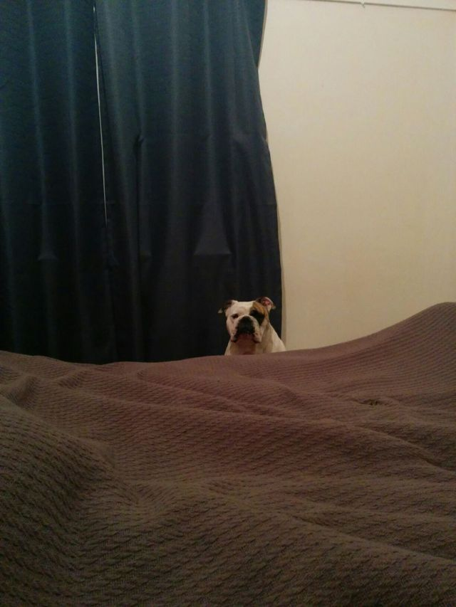 New dog, first night in our house... I think she wants in the bed!