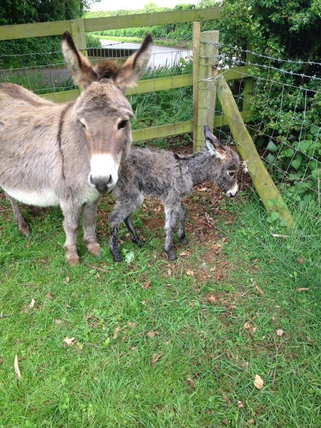 Our miniature donkey just gave birth to a miniature, miniature donkey!