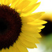 Small_sunflower_0