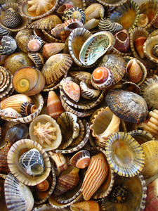 Medium_seashells