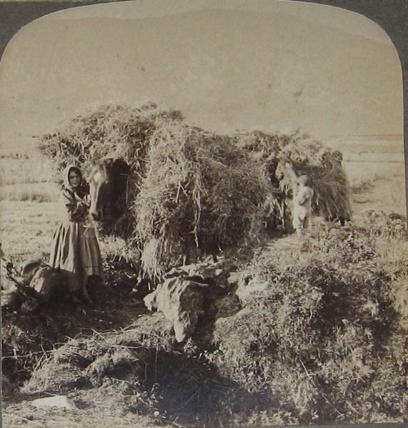 Harvesting Slievemore Achill Island