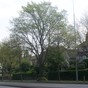 Coseley Avenue of Remembrance - sixth surviving tree