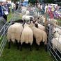 Clun Forest Sheep at Burwarton Show
