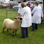 Sheep at Burwarton Show