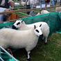 Kerry Hill Sheep at Burwarton Show