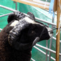 Jacob Sheep at Burwarton Show