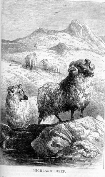 Highland Sheep by Harrison Weir