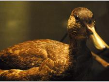 The Ducks of Santa Nella photo