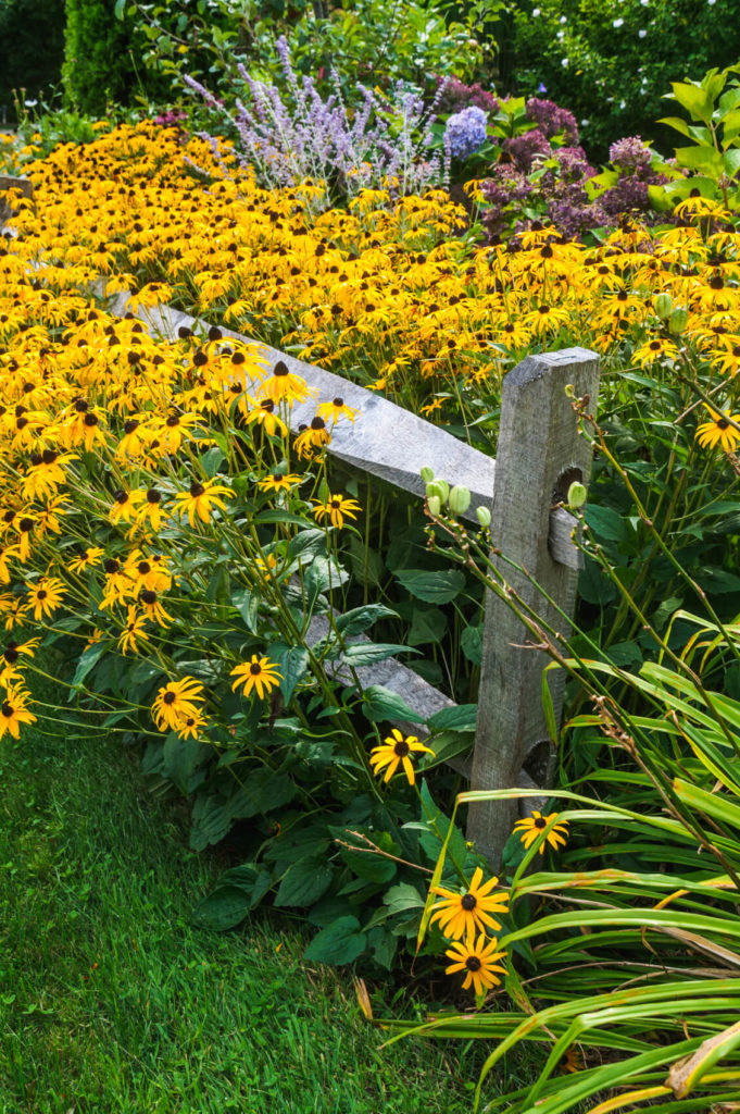 Beautiful rustic aged split rail fence with narrowing rails running through a lovely garden rife with Black Eyed Susans and Lavender.