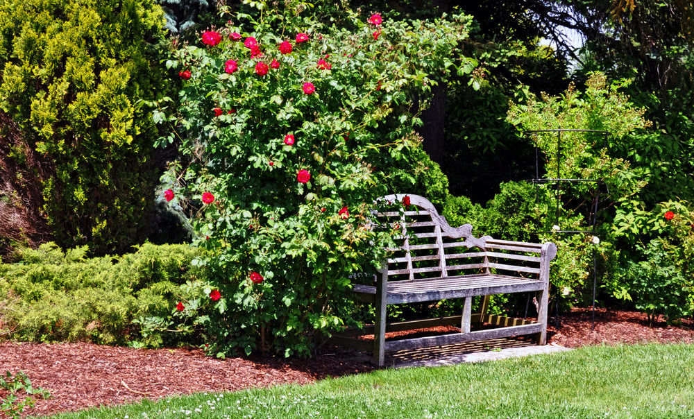 The tall branches and thick leaves of this rose bush make a shady spot for this rustic garden bench. You can spare yourself from sunstroke while you enjoy the garden.