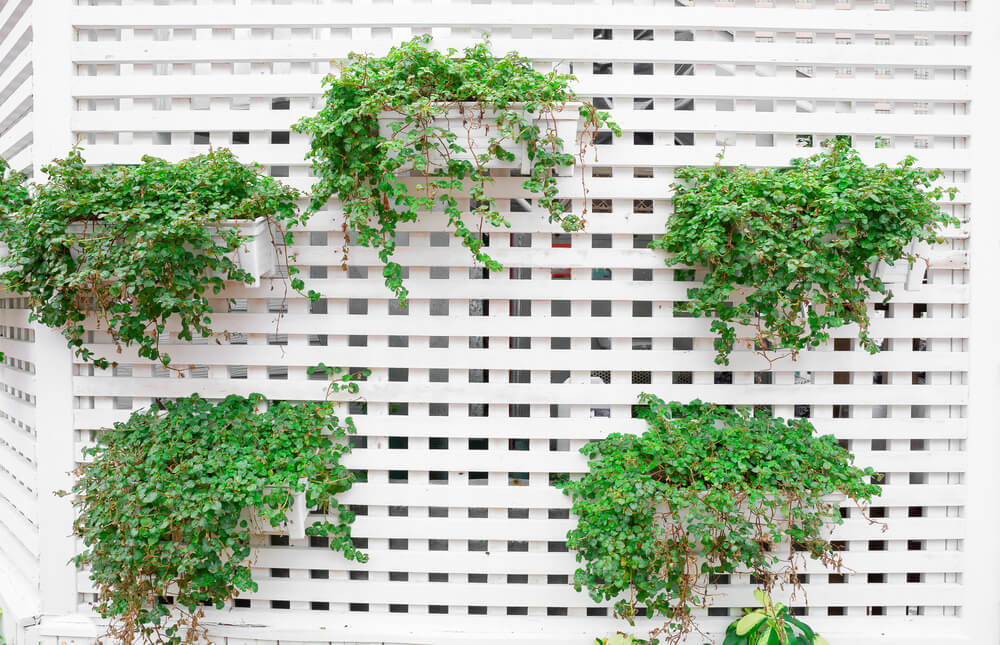 Another Example Of A Vertical Garden, This Time Plants On A White Lattice  Privacy Wall