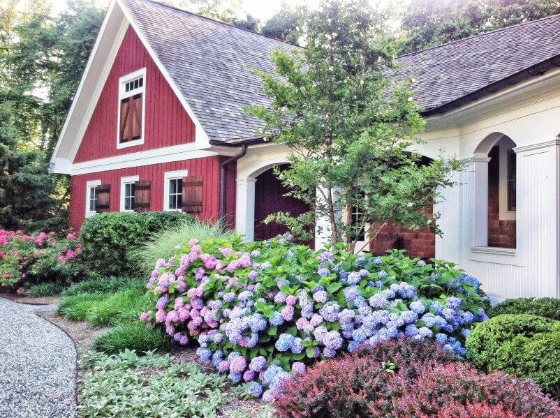 Example Of Hydrangeas Growing Along The Front Of A Home.
