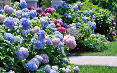 24hydrangea-garden