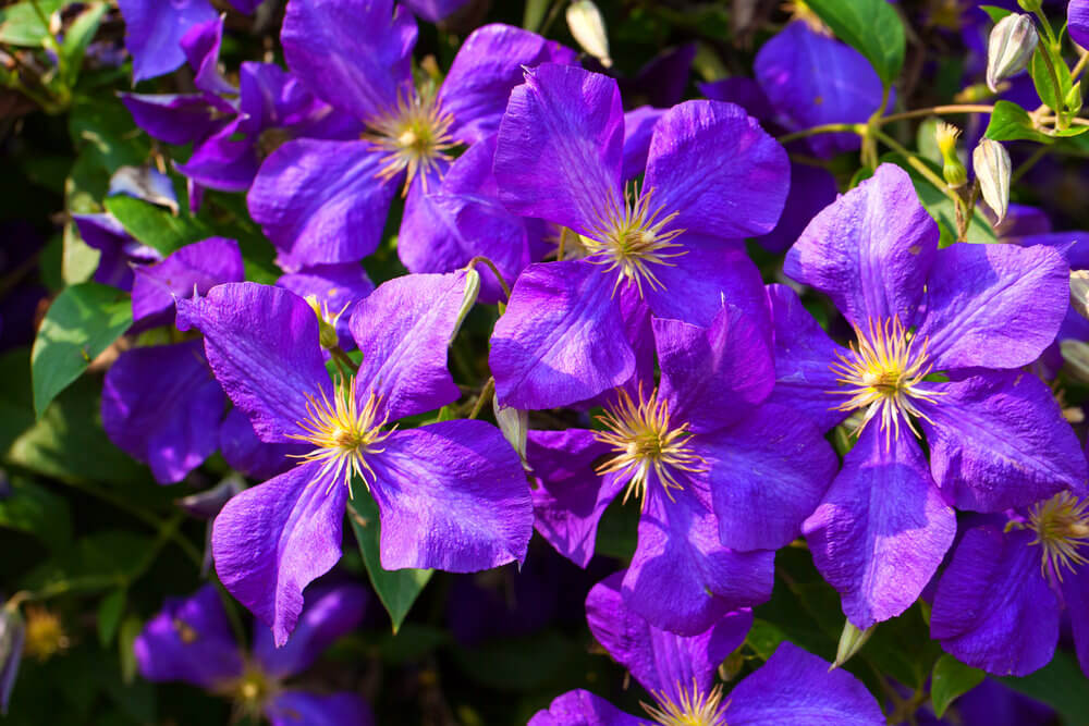 Purple Clematis originated from the oriental region of China and Japan and can climb fences, posts, and trellises. They are very hardy, large-flowered, and grow intense purple flowers. The flowers bloom during the current year's growth.
