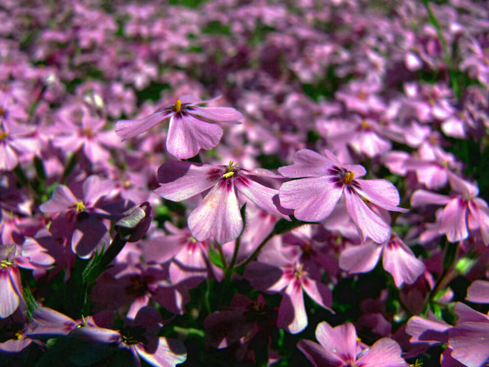 Purple Creeping Phlox flowers are five-pointed, starry, and small with needle-like foliage. They can grow 4 to 6 inches tall and can reach up to a 2 feet spread. They are easy to cultivate and tolerant of most soil.