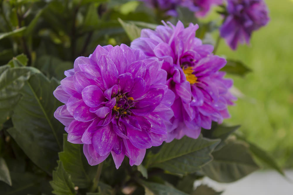 Purple Dahlias have a growing season of at least 120 days long and thrive in cool moist climates. These spiky flowers can grow 4 to 5 feet tall with blossoms inches to 10 inches in size.
