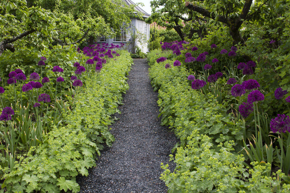 Allium purple sensation seem to give light to the gravel pathway, as if they resemble balloons floating in the air.
