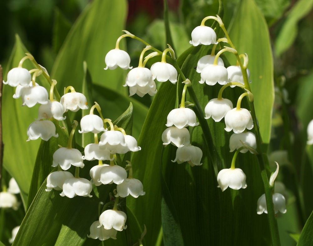 This is one of the most fragrant blossoms in the spring and early summer. Its bell shaped white blossoms grow from its stems and its leaves are lance shaped.