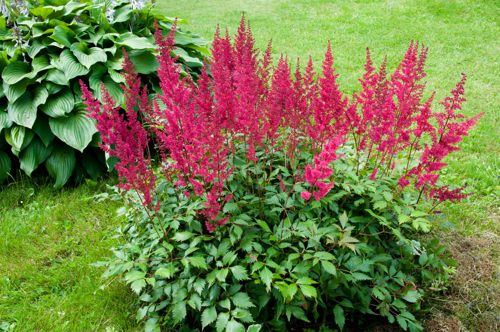 Its pink flowers are somewhat cottony and smooth along with its glossy green leaves. Its blooming time is in spring and summer. Not only is it known for its pink colors but it also blooms in red and white.