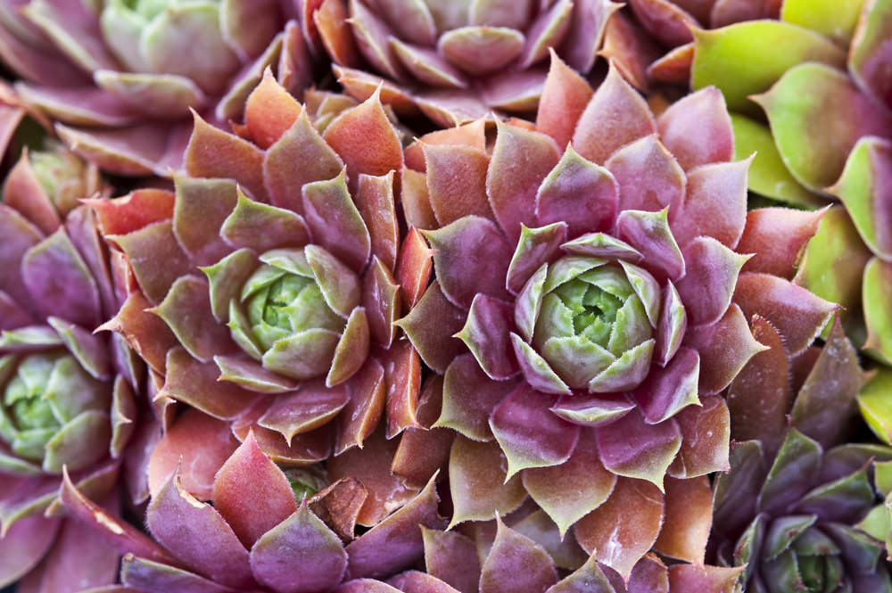 A succulent bearing flower and is known as 'hens and chicks' as its other name. This plant is known to die after it blooms, which happens once in each plant. Typically it starts to grow its flower in summer.sepmervivum
