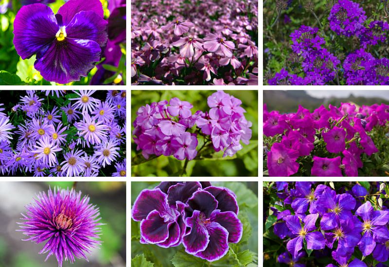 Purple Backyard Flowers :  purple flowers for your garden flower pots and planters purple flowers